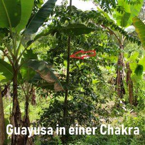 Guayusa-2