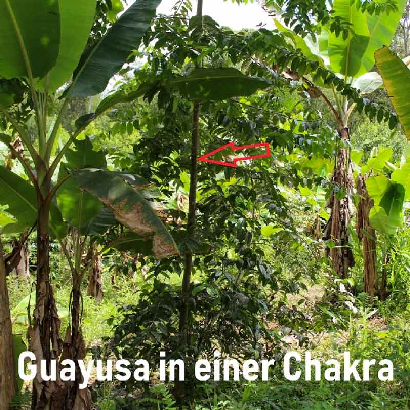 Guayusa in einer Chakra