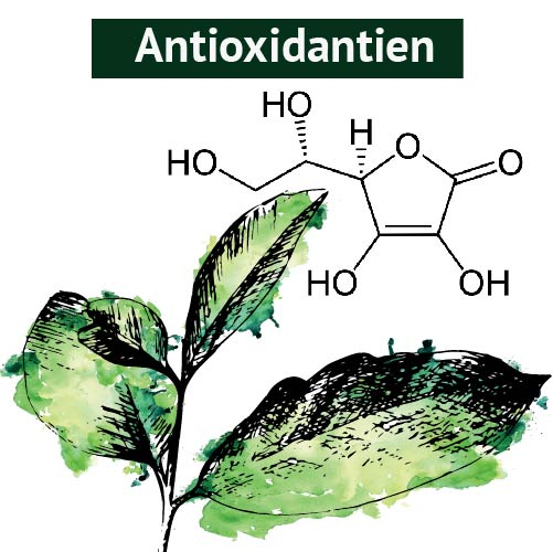 Bestandteil der Guayusa_Antioxidantien