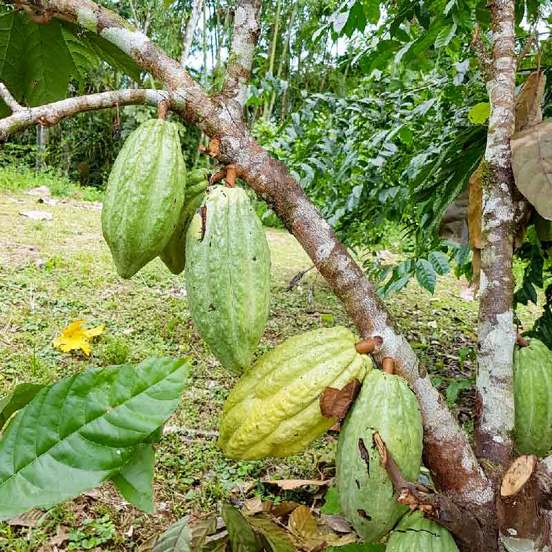 "Kakaobohnen-aus-dem-Amazonas-""Chakras"""