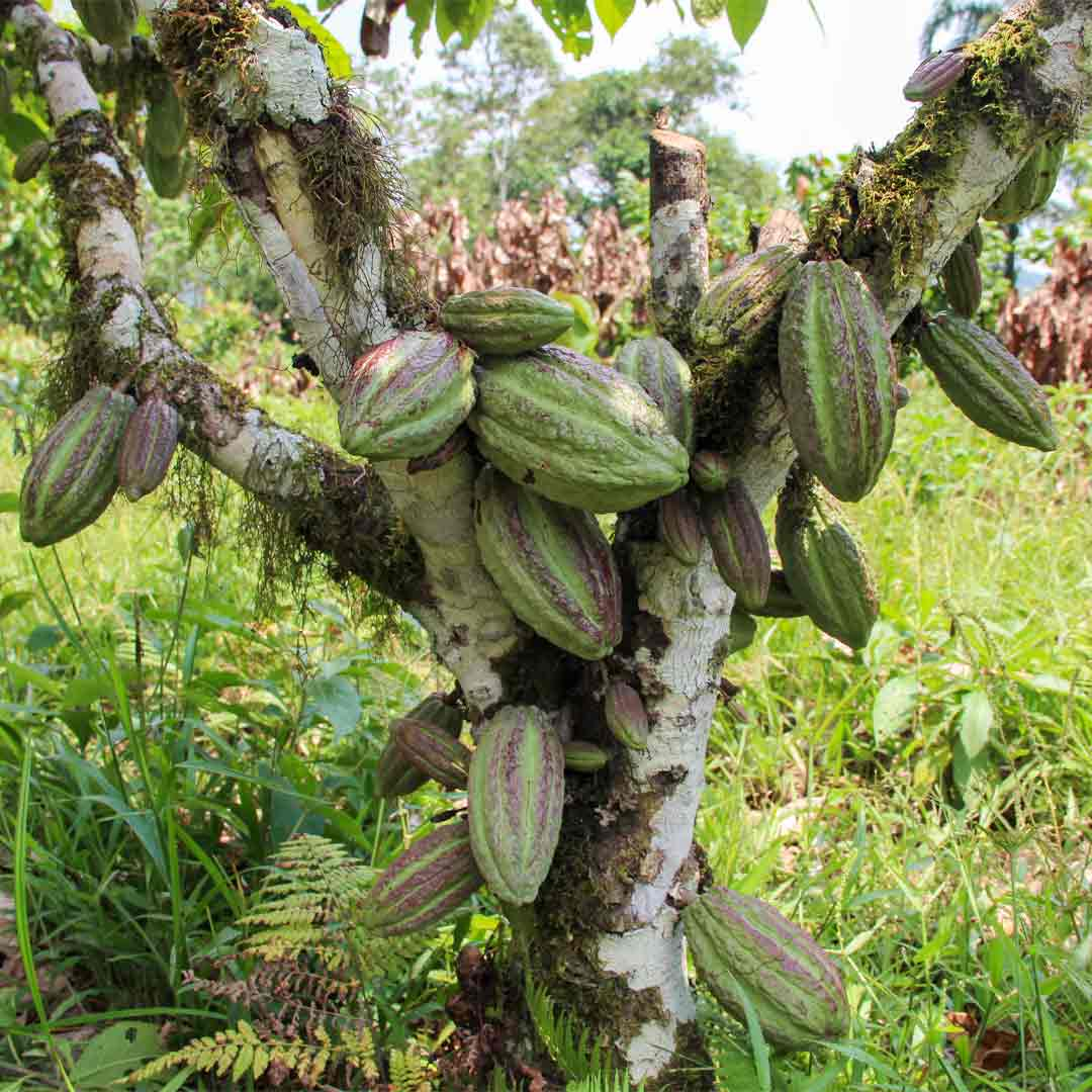 """Der große Unterschied zwischen Edelkakao und herkömmlichen Kakao ist die Qualität der Kakaobohnen. Eine große Herausforderung für die Produktion von Edelkakao ist die hohe Krankheitsanfälligkeit der Edelkakaopflanzen. Resistentere Kakaopflanzen, deren Kakaobohnen von geringerer Qualität sind, finden daher eine weite Verbreitung. Weltweit gibt es hunderte verschiedene Kakaosorten. Sie werden in vier verschiedene Hauptsorten unterteilt: """"Criollo"""", """"Forastero"""", """"Trinitario"""" und """"Nacional"""". Zu der Sorte """"Criollo"""" zählen die teuersten und edelsten Kakaobohnen weltweit."""