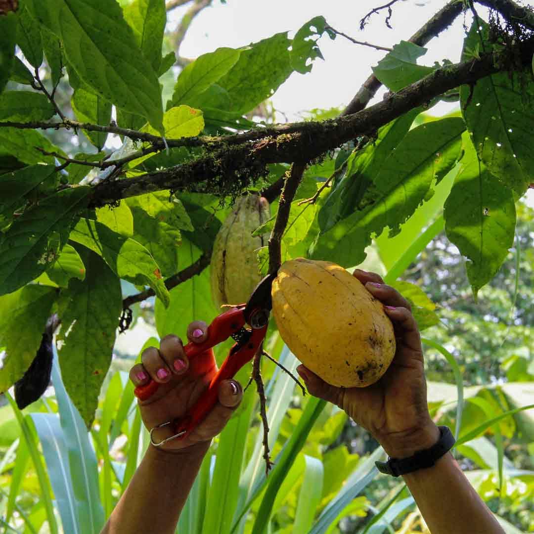 "Kakaobohnen-aus-dem-Amazonas-""Chakras""-9"